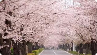 韓國河東十里櫻花五大熱門看點