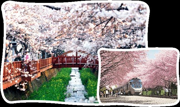 釜山鎮海櫻花一日遊