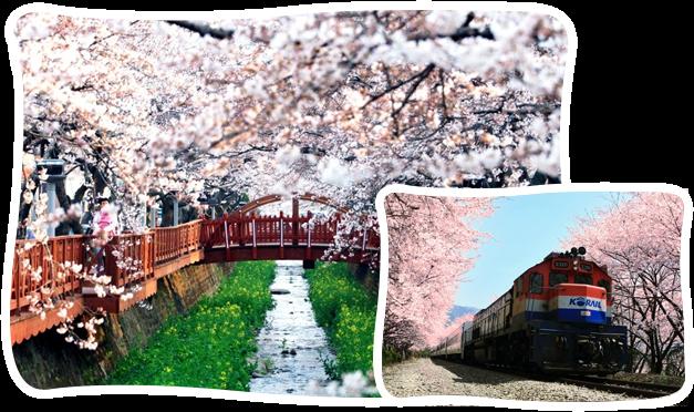 首爾-鎮海軍港櫻花節一日遊
