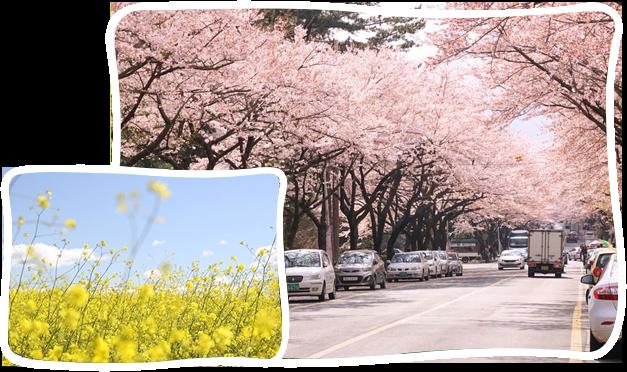 濟州島櫻花+油菜花一日遊
