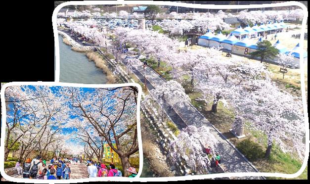 全州八重櫻花+韓屋村一日遊