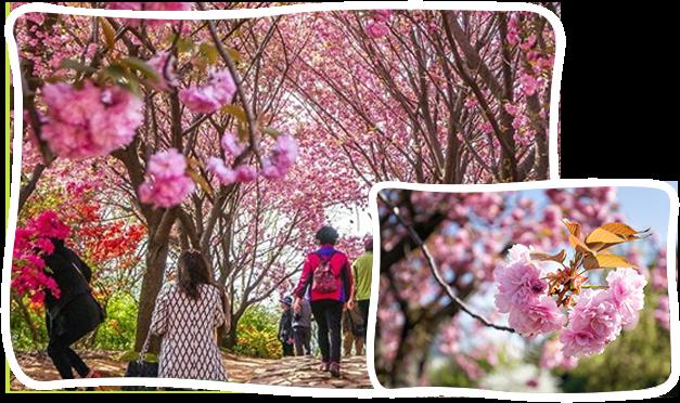 首爾-全州韓屋八重櫻花+馬耳山櫻花路