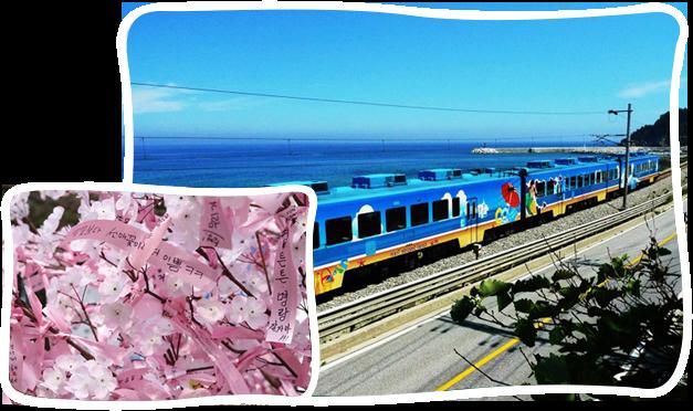 首爾-江陵海洋列車+鏡浦臺櫻花