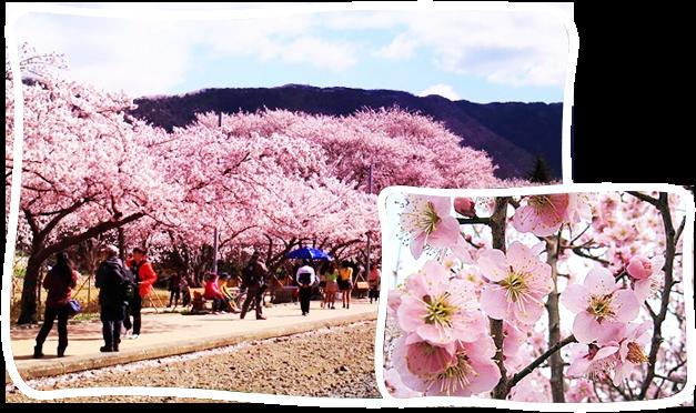 釜山-晉州河畔櫻花+河東十里櫻花