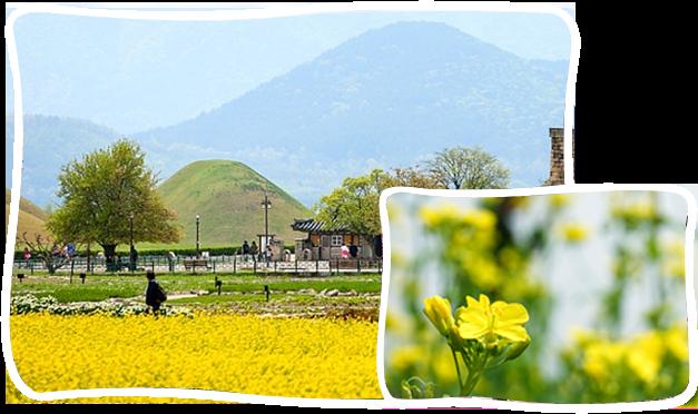 釜山-慶州油菜花一日遊